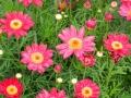 argyranthemum-01.jpg