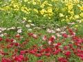argyranthemum-02.jpg