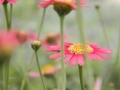 argyranthemum-03.jpg