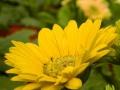 argyranthemum-04.jpg