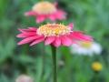 argyranthemum-05.jpg