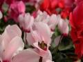 Plantas de flor en maceta de cyclamen persicum o violeta de persia disponibles todo el año en inGreen vivero mayorista