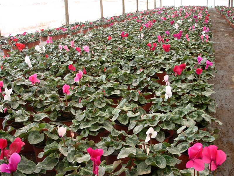 ingreen-cyclamen.jpg