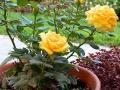 news-star-roses-3