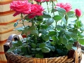 news-star-roses-4