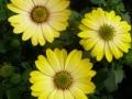 Plantas de flor en maceta de dimorfoteca u osteospermum disponibles todo el año en inGreen vivero mayorista