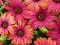 Plantas de flor en maceta de osteospermum o dimorfoteca disponibles todo el año en in Green Plantas Ornamentales