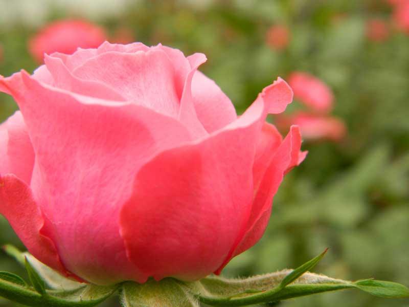 Rosas en maceta Star Roses®