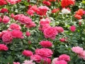 rosa-02.jpg