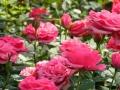 rosa-05.jpg