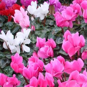 Flores de Cyclamen o Violeta de Persia