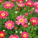 producto-06-argyranthemum